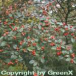 Fruchtmispel 60-80cm - Cotoneaster franchetii
