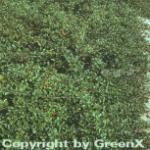 10x Zwergmispel Eichholz 15-20cm - Cotoneaster dammeri