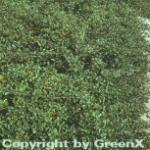 Zwergmispel Eichholz 20-30cm - Cotoneaster dammeri