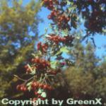 Eingriffeliger Weißdorn 100-125cm - Crataegus monogyna