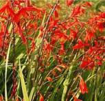 Garten Monbretie Lucifer - Crocosmia masoniorum