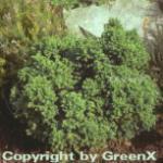 Zwerg Kugelsicheltanne 20-25cm - Cryptomeria japonica