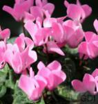 Herbst Alpenveilchen Ivy Ice Rose Shades - Cyclamen hederifolium