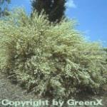 Weißer Ginster 40-60cm - Cytisus praecox