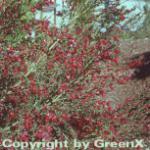 Edelginster Golden Red Wings 60-80cm - Cytisus scoparius