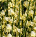 Elfenbein Ginster Warminster 40-60cm - Cytisus praecox