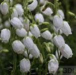 10x Irische Heide Alberta White - Daboecia cantabrica