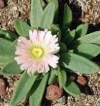 Violettes Mittagsblümchen Peach Star - Delosperma sutherlandii