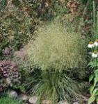 Waldschmiele Goldtau - Deschampsia cespitosa