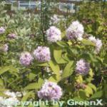 Rosendeutzie Pink Pom Pom 40-60cm - Deutzia hybrida