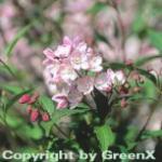 Halbhoher Sternstrauch Kamiendeutzie 40-60cm - Deutzia kalmiiflora