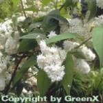 Hoher Sternchenstrauch 60-80cm - Deutzia magnifica