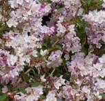 Maiblumenstrauch Codsall Pink 40-60cm - Deutzia scabra