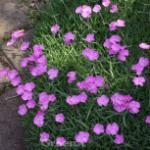 Heidennelke Garden Dark Pink - Dianthus deltoides