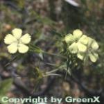 Gelbe Balkan Nelke - Dianthus knappii