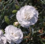 Federnelke Haytor - Dianthus plumarius