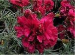 Federnelke Heidi - Dianthus plumarius