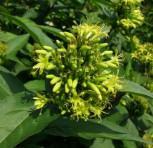 Buschgeißblatt 60-80cm - Diervilla sessilifolia