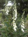 Weißer Fingerhut - Digitalis purpurea alba