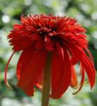 Sonnenhut Hot Papaya - Echinacea purpurea