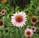 Garten Sonnenhut Leuchtstern - Echinacea purpurea