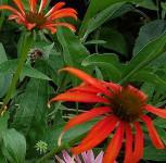 Sonnenhut Tomato Soup - Echinacea purpurea