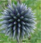 Kugeldistel Taplow Blue - Echinops bannaticus