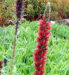 Russischer Natternkopf - Echium russicum