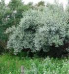 Silverölweide 125-150cm - Elaeagnus commutata