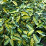 Wintergrüne Ölweide Limelight 60-80cm - Elaeagnus ebbingei