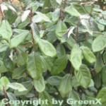 Wintergrüne Ölweide 80-100cm - Elaeagnus ebbingei