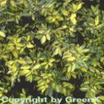 Buntlaubige Ölweide Maculata 80-100cm - Elaeagnus pungens