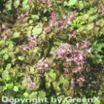 Elfenblume Lilafee - Epimedium grandiflorum