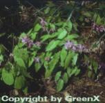 Elfenblume Violaceum - Epimedium grandiflorum