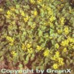 Elfenblume Frohnleiten - Epimedium perralchicum