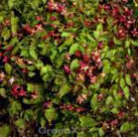 Elfenblume Galadriel - Epimedium rubrum