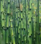 Japanischer Winterschachtelhalm - Equisetum hyemale var.japonicum
