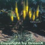 Gelbe Steppenlilie - Eremurus stenophyllus