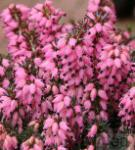 10x Winterheide Corinna - Erica carnea
