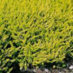 10x Winterheide Golden Starlet - Erica carnea