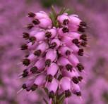 10x Winterheide March Seedling - Erica carnea