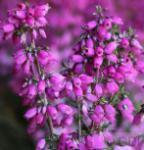 10x Grauheide Dunkelroter Kobold - Erica cinerea