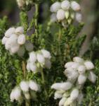 10x Glockenheide Alba - Erica tetralix