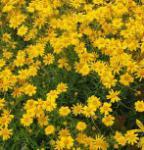 Wüste Goldaster - Eriophyllum lanatum