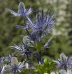 Alpen Mannstreu Blue Star - Eryngium alpinum