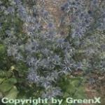 Blaue Edeldistel - Eryngium planum