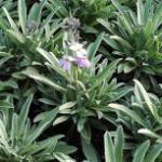 Goldlack Bowles Mauve - Erysimum cheiri