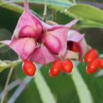 Fünfhörmiges Pfaffenhütchen 60-80cm - Euonymus cornutus