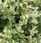 10x Kriechspindel Harlequin 10-15cm - Euonymus fortunei