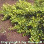 10x Kriechspindel Blondy 15-20cm - Euonymus fortunei